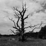 suchý dub