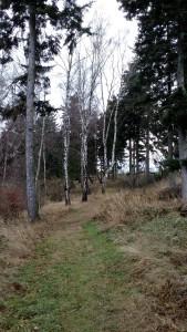 Břízy v lese na Březovou